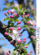 Цветение яблони. Стоковое фото, фотограф Александра Полупанова / Фотобанк Лори