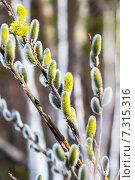 Ива козья (Salix caprea L.). Цветущие ветви весной. Стоковое фото, фотограф Евгений Мухортов / Фотобанк Лори