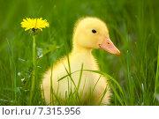 Купить «Little yellow duckling», фото № 7315956, снято 11 мая 2011 г. (c) Goinyk Volodymyr / Фотобанк Лори