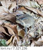 Жаба на сухих листьях. Стоковое фото, фотограф Виктор Застольский / Фотобанк Лори