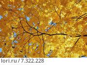 Желтые листья клена. Стоковое фото, фотограф Александр Андреевич Сячин / Фотобанк Лори