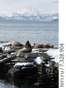 Купить «Сивучи (северный морской лев) на лежбище. Петропавловск-Камчатский, Авачинская бухта», фото № 7328904, снято 2 апреля 2015 г. (c) А. А. Пирагис / Фотобанк Лори
