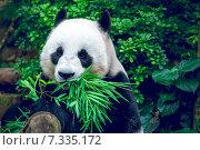 Купить «Giant panda», фото № 7335172, снято 21 марта 2014 г. (c) Goinyk Volodymyr / Фотобанк Лори