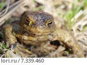 Купить «Обыкновенная серая жаба (лат. Bufo bufo)», эксклюзивное фото № 7339460, снято 28 апреля 2015 г. (c) Елена Коромыслова / Фотобанк Лори