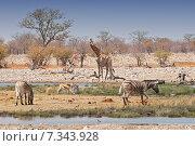Купить «Africa, Namibia, zebras and giraffes in Etosha National Parks», фото № 7343928, снято 17 октября 2018 г. (c) BE&W Photo / Фотобанк Лори