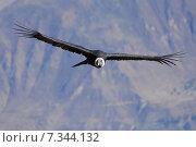 Купить «peru - the andean condor (vultur gryphus) in colca canyonPeru, Arequipa, Colca Canyon, Andean Condor, Vultur gryphus», фото № 7344132, снято 13 декабря 2019 г. (c) BE&W Photo / Фотобанк Лори