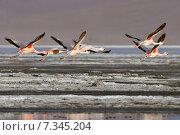 Купить «bolivia - the james flamingo (phoenicoparrus jamesi), laguna coloradaBolivia, Laguna Colorada, the Puna Flamingo, Phoenicoparrus Jamesi», фото № 7345204, снято 26 марта 2019 г. (c) BE&W Photo / Фотобанк Лори