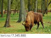 Poland, The European bison in the Landscape Reserve on the way to Bialowieza. Стоковое фото, агентство BE&W Photo / Фотобанк Лори