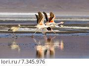 Купить «Bolivia, Laguna Colorada, the Puna Flamingo, Phoenicoparrus Jamesi», фото № 7345976, снято 26 марта 2019 г. (c) BE&W Photo / Фотобанк Лори