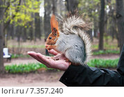 Купить «Белка на руке мужчины ест орехи», фото № 7357240, снято 2 мая 2015 г. (c) Юрий Кирсанов / Фотобанк Лори