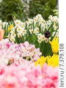 Тюльпаны и нарциссы на клумбе. Стоковое фото, фотограф Ирина Буракова / Фотобанк Лори