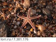Морская звезда на каменном пляже. Стоковое фото, фотограф eva cuba air / Фотобанк Лори
