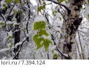 Ветка березы с молодыми зелеными листьями в снегу в мае. Стоковое фото, фотограф Ирина Буржинская / Фотобанк Лори