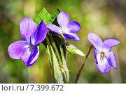 Купить «Фиалка душистая (Viola odorata)», фото № 7399672, снято 5 мая 2015 г. (c) Евгений Мухортов / Фотобанк Лори