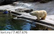 Белая медведица наблюдает за игрой медвежат. Стоковое фото, фотограф Людмила Жукова / Фотобанк Лори