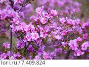 Купить «Closeup shot of Rhododendron dauricum flowers», фото № 7409824, снято 29 апреля 2015 г. (c) Serg Zastavkin / Фотобанк Лори