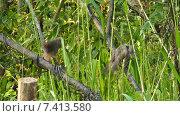 Купить «Полосатые дроздовые тимелии (Turdoides striatus)», видеоролик № 7413580, снято 10 мая 2015 г. (c) Михаил Коханчиков / Фотобанк Лори