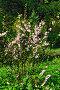 Миндаль трёхлопастный махровый (лат. Prunus triloba Plena), фото № 7420540, снято 3 мая 2015 г. (c) Сергей Трофименко / Фотобанк Лори