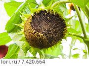 Купить «Подсолнух (Helianthus annuus)», эксклюзивное фото № 7420664, снято 16 августа 2013 г. (c) Алёшина Оксана / Фотобанк Лори
