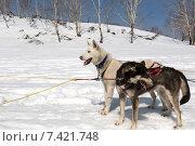 Собаки в упряжке отдыхают возле саней. Стоковое фото, фотограф Федоренко Борис / Фотобанк Лори