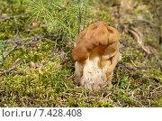 Строчок обыкновенный (лат. Gyromitra esculenta) Стоковое фото, фотограф Елена Коромыслова / Фотобанк Лори