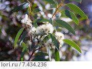 blossoming soap mallee. Стоковое фото, фотограф Яков Филимонов / Фотобанк Лори