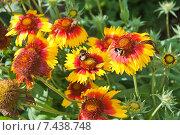 Купить «Шмель собирает нектар на цветке Гайлардии (Gaillardia)», эксклюзивное фото № 7438748, снято 23 августа 2014 г. (c) Алёшина Оксана / Фотобанк Лори