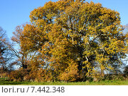 Купить «Красивый дуб с золотистой листвой», фото № 7442348, снято 4 декабря 2013 г. (c) Татьяна Кахилл / Фотобанк Лори