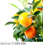 Купить «Красивые мандарины растут на дереве на белом фоне», фото № 7444948, снято 17 мая 2015 г. (c) Рожков Юрий / Фотобанк Лори