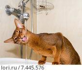Абиссинская кошка пьет водопроводную воду. Стоковое фото, фотограф Максим Блинков / Фотобанк Лори