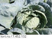 Сад и огород: выращивание капусты. Стоковое фото, фотограф yaray / Фотобанк Лори
