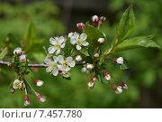Ветка цветущей вишни. Стоковое фото, фотограф Ксения Ларкина / Фотобанк Лори