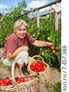 Купить «Женщина собирает спелые помидоры», фото № 7457988, снято 4 августа 2011 г. (c) Александр Романов / Фотобанк Лори