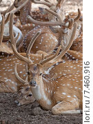 Купить «Стадо пятнистых оленей», фото № 7460916, снято 7 апреля 2012 г. (c) Татьяна Белова / Фотобанк Лори