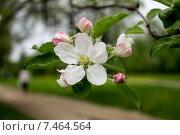 Купить «Цветы яблони», фото № 7464564, снято 15 мая 2015 г. (c) Татьяна Васильева / Фотобанк Лори