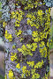 Ксантория (лат. Xanthoria) и гипогимния (лат. Hypogymnia) на стволе кедра, фото № 7467636, снято 23 мая 2015 г. (c) Григорий Писоцкий / Фотобанк Лори