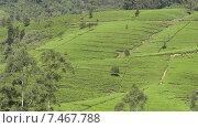 Чайные плантации. Стоковое видео, видеограф Олег Жигунов / Фотобанк Лори