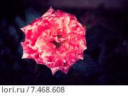 Цветок розы на темном фоне. Стоковое фото, фотограф Maria Siurtukova / Фотобанк Лори