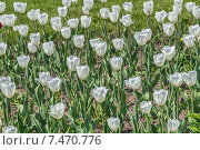 Белые тюльпаны в московском парке. Стоковое фото, фотограф Владимир Сергеев / Фотобанк Лори