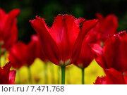 Купить «Красный махровый тюльпан», фото № 7471768, снято 23 мая 2015 г. (c) Сергей Трофименко / Фотобанк Лори