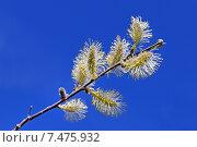 Серёжки ивы на фоне синего неба. Стоковое фото, фотограф Григорий Писоцкий / Фотобанк Лори
