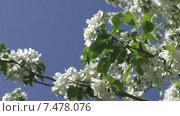 Купить «Цветущая яблоня на фоне синего небе. Май», видеоролик № 7478076, снято 25 мая 2015 г. (c) Звездочка ясная / Фотобанк Лори