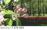 Купить «Цветы яблони. Весна в городском парке.», видеоролик № 7478084, снято 25 мая 2015 г. (c) Звездочка ясная / Фотобанк Лори