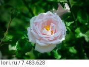 Купить «Розовый цветок  шиповника», фото № 7483628, снято 23 июня 2012 г. (c) Татьяна Белова / Фотобанк Лори