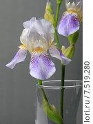 Купить «Цветок ириса в стеклянной вазе на сером фоне», эксклюзивное фото № 7519280, снято 2 июня 2015 г. (c) Яна Королёва / Фотобанк Лори