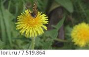 Купить «Бабочка на цветке», видеоролик № 7519864, снято 3 июня 2015 г. (c) Звездочка ясная / Фотобанк Лори