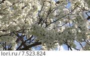 Купить «Цветущая слива. Крупно цветы. Панорама. Slide Camera.», видеоролик № 7523824, снято 19 мая 2015 г. (c) Mike The / Фотобанк Лори