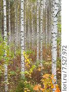 Купить «Березовая роща», фото № 7527972, снято 6 октября 2013 г. (c) Юлия Бабкина / Фотобанк Лори