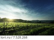 Купить «Виноградник в Тоскане, Италия», фото № 7528268, снято 11 мая 2015 г. (c) Iakov Kalinin / Фотобанк Лори