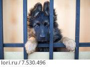Купить «Грустный щенок за решеткой», фото № 7530496, снято 8 июня 2015 г. (c) Андрей Кузьмин / Фотобанк Лори